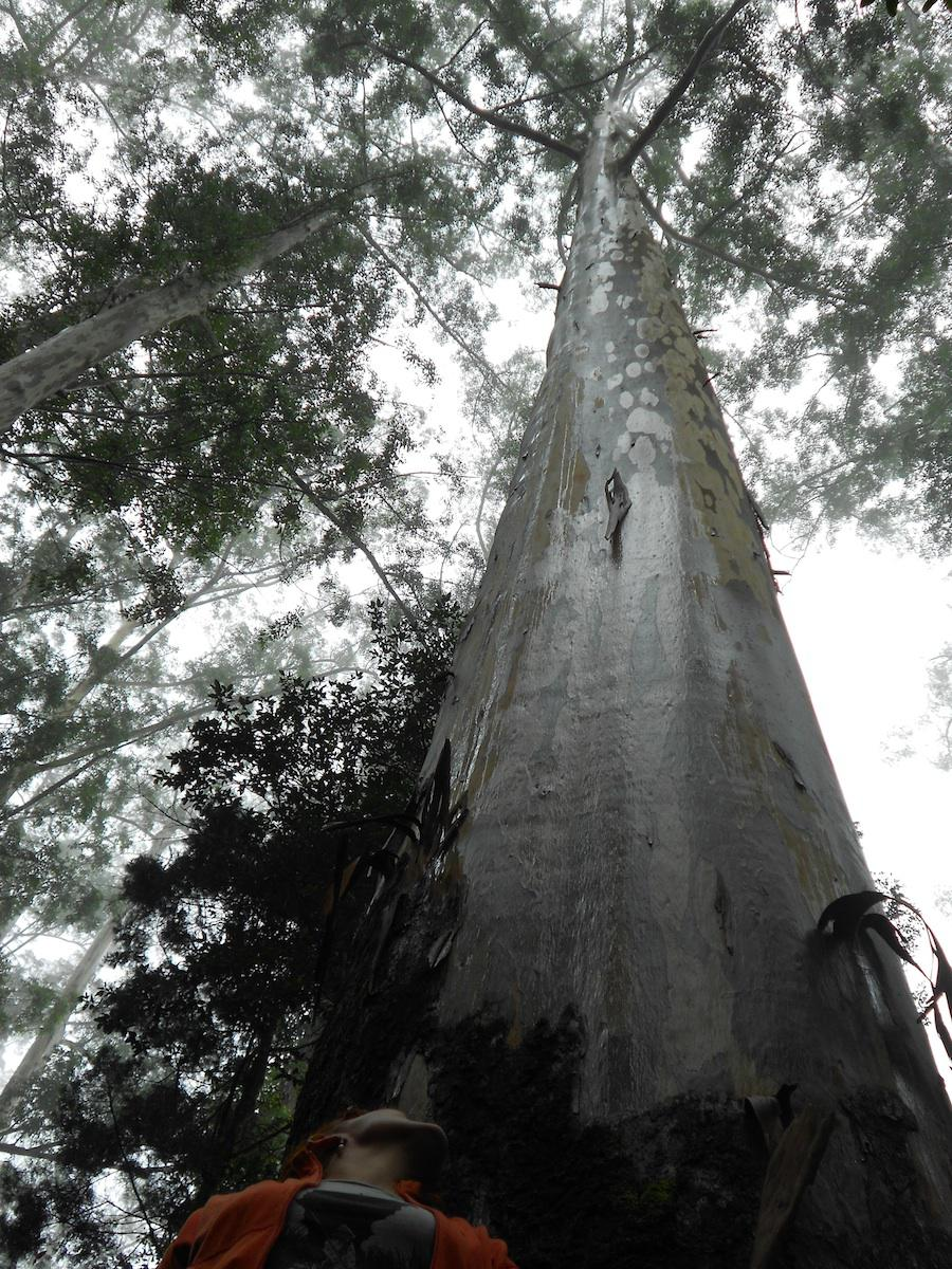 Eucalyptus saligna situated in the Woodbush Forest Estate, Magoebaskloof, Tzaneen, ranked as the tallest trees in the Southern hemisphere and the tallest trees in Africa